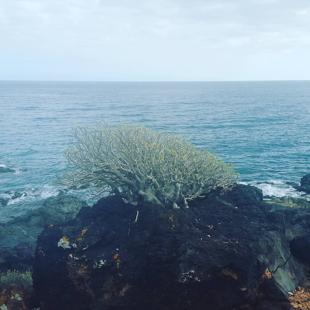 Clever tree, taking minerals from the lava stone and sea water from the air. Tenerife Island.