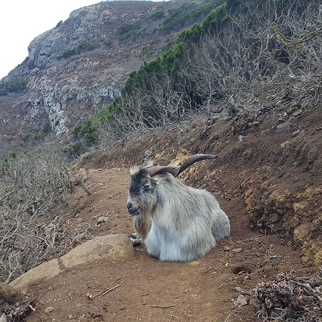 On the Private Hiking Tour Anaga Adventure – huge wild goat blocked the way.